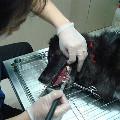 寵物洗牙 麻醉